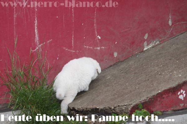 perro blanco s weisse sch ferhund zucht d wurf. Black Bedroom Furniture Sets. Home Design Ideas