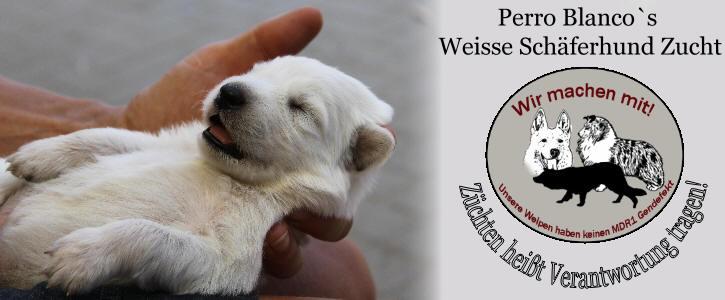 Perro Blanco S Weisse Schaferhund Zucht Aus Niederkruchten Nrw Kreis Viersen Bei Monchengladbach Niederlande Berger Blanc Suisse White Shepherd Ilka Meier